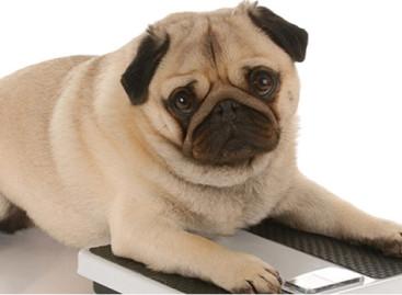 Como tratar a obesidade do seu pet